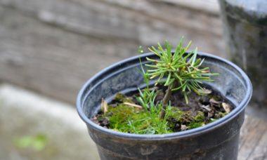 Как вырастить дома ель, сосну или любое хвойное растение
