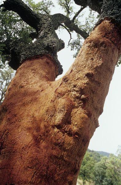 Пробковое дерево