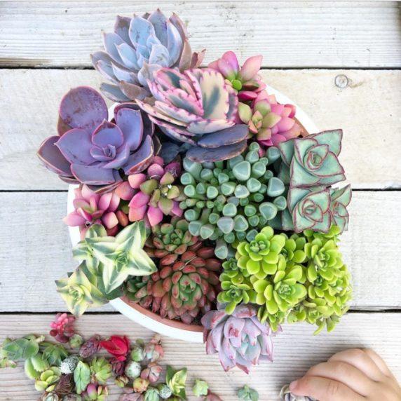 Суккуленты разных цветов