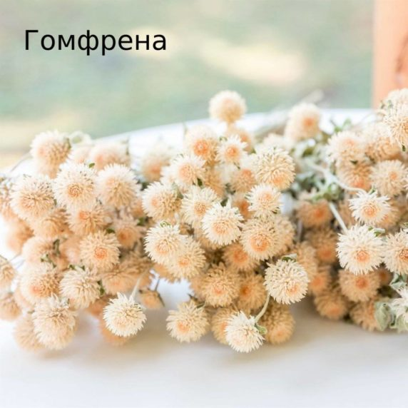 Сухоцвет гомфрена